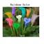ดอก Calla lily / 10 เมล็ด thumbnail 1