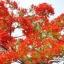 ดอกหางนกยูง / 20 เมล็ด thumbnail 3
