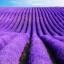 Lavender Frenchy ลาเวนเดอร์ / 20 เมล็ด thumbnail 1