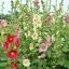 ดอกฮอลลี่ฮ็อค Hollyhock Flower / Mix / 20 เมล็ด thumbnail 7