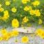 ดอกไธมอฟิลเลีย / 20 เมล็ด thumbnail 1