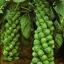 กะหล่ำดาวสีเขียว /20 เมล็ด thumbnail 1