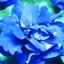 พิทูเนีย สีฟ้า Blue Petunia / 20 เมล็ด thumbnail 1