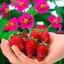 สตรอเบอรี่ Tuscana Strawberry /30 เมล็ด thumbnail 1