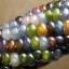 ข้าวโพดพลอย Glass Gem Ornamental Corn / 5 เมล็ด thumbnail 1