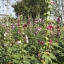 ดอกฮอลลี่ฮ็อค Hollyhock Flower / Mix / 20 เมล็ด thumbnail 3