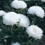 Aster Milady White แอสเตอร์ มิเลดี้ ไวท์ / 50 เมล็ด thumbnail 1