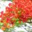 ดอกหางนกยูง / 20 เมล็ด thumbnail 2