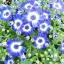 ดอกซินเนอราเรีย Cineraria / 20 เมล็ด thumbnail 1