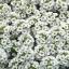 Alyssum Crystal White อลิซั่ม คริสตัล ไวท์/ 100 เมล็ด thumbnail 1