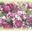 Petunia Double Grandiflora Double Rose Pirouette พิทูเนีย ดับเบิ้ลแกรนด์ดิฟรอร่า ดับเบิ้ล โรส พิรูเอ็ด/ 50 เมล็ด thumbnail 1