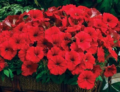 ดอก Petunia seeds (แดง) / 50 เมล็ด