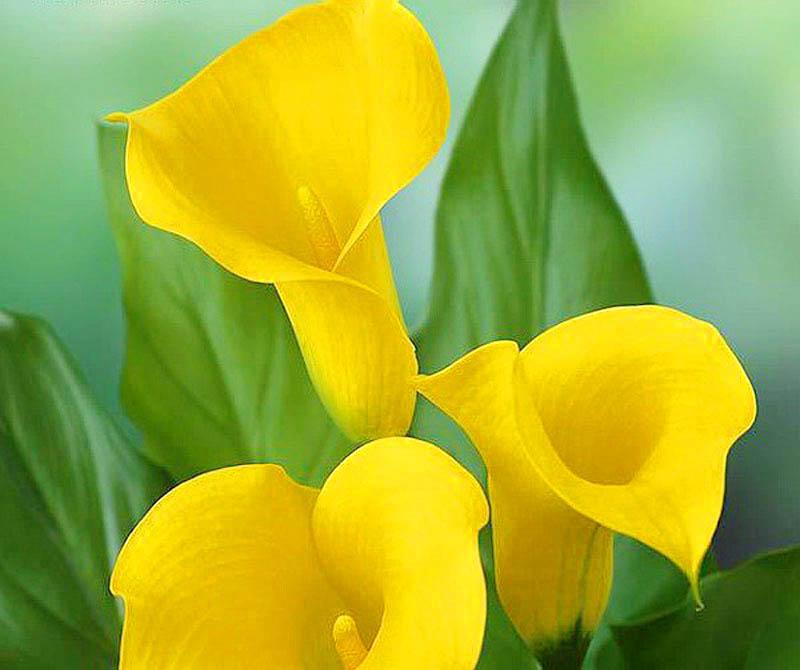 ดอก คอลล่าลิลลี่ สีเหลือง Yellow Calla Lily / 10 เมล็ด