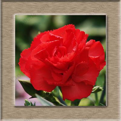 ดอก Carnation (แดง) / 10 เมล็ด