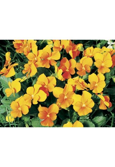 Viola Baby Face Orange ไวโอล่า เบบี้ เฟซ ออเรนจ์ / 20 เมล็ด
