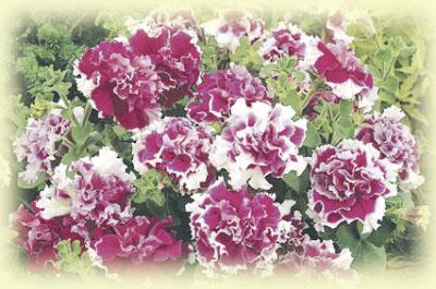 Petunia Double Grandiflora Double Rose Pirouette พิทูเนีย ดับเบิ้ลแกรนด์ดิฟรอร่า ดับเบิ้ล โรส พิรูเอ็ด/ 50 เมล็ด